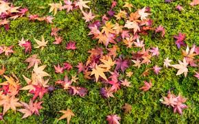Картинка осень, трава, листья, фон, colorful, grass, background, autumn, leaves, осенние, maple