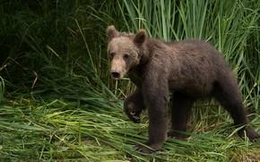 Картинка трава, взгляд, морда, поза, портрет, лапы, медведь, медвежонок, бурый, мишутка