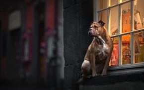 Картинка взгляд, собака, окно