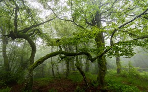 Картинка лес, деревья, туман