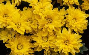 Картинка цветы, желтые, сад, хризантемы, много