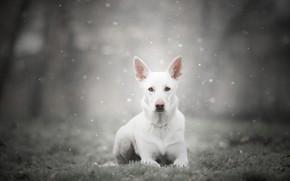 Картинка зима, иней, лес, трава, взгляд, морда, снег, природа, поза, туман, парк, серый, фон, собака, лежит, ...