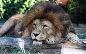 Картинка взгляд, морда, природа, отдых, лев, лапы, грива, лежит, бревно, боке