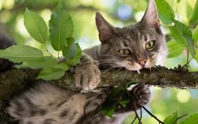 Картинка кошка, кот, взгляд, листья, ветка, на дереве, котэ