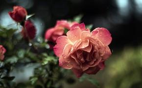 Картинка капли, розовая, роза, розы, ветка, сад, боке, лососевая