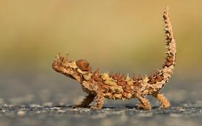 Картинка ящерица, Австралия, пресмыкающееся, молох, Национальный парк Уотарка
