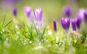 Картинка трава, свет, поляна, крокусы, сиреневые, боке