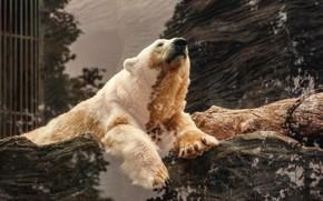 Картинка белый, стекло, морда, поза, отражение, лапы, медведь, ограждение, мишка, лежит, бревно, белый медведь, зоопарк, отражение …