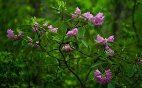 Картинка куст, Babcock State Park, цветки, рододендрон, West Virginia, Западная Виргиния, Парк Бэбкок