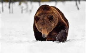 Картинка зима, морда, снег, природа, медведь, сугробы, крадется