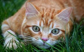 Картинка кошка, трава, кот, взгляд, морда, крупный план, природа, поза, фон, лапа, портрет, рыжий, котя