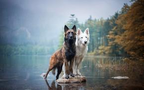 Картинка осень, собаки, взгляд, берег, камень, две, пара, парочка, дуэт, друзья, водоем, две собаки, швейцарская овчарка, …
