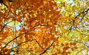 Картинка осень, листья, colorful, клен, autumn, leaves, осенние, maple