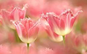 Картинка цветы, весна, тюльпаны, розовые, боке