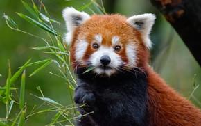 Картинка взгляд, листья, крупный план, природа, дерево, портрет, бамбук, красная панда, мордашка, малая панда, лапка, трапеза