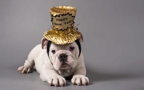 Картинка белый, взгляд, поза, надпись, собака, шляпа, Рождество, щенок, Новый год, лежит, бульдог, образ, позолота, серый …