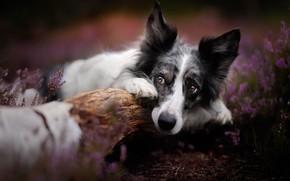 Картинка собака, бревно, Бордер-колли, морда, боке, вереск