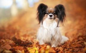 Картинка осень, взгляд, листья, поза, фон, листва, собака, щенок, мордашка, сидит, собачка, милашка, малышка, размытый, декоративная, …