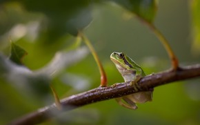Картинка Nature, Europese Boomkikker, European Tree Frog