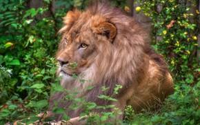 Картинка зелень, лев, грива, царь зверей, дикая кошка