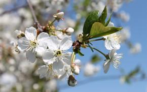 Картинка цветы, весна, май, цветение, белые цветы