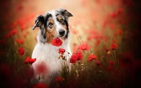 Картинка морда, цветы, маки, собака, боке, Австралийская овчарка, Аусси