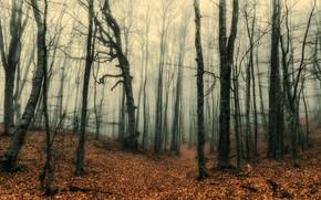 Картинка осень, лес, туман, стволы, листопад, голые деревья