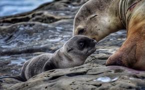 Картинка животные, природа, детёныш, тюлени