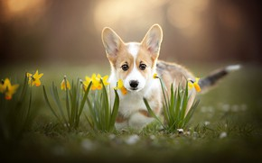 Картинка взгляд, цветы, щенок, мордашка, нарциссы, боке, пёсик, Вельш-корги
