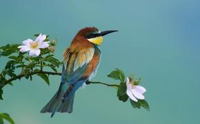 Картинка природа, птица, ветка, шиповник, цветение, золотистая щурка, Ботев Калин