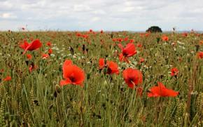 Картинка пшеница, поле, лето, небо, облака, цветы, природа, мак, маки, горизонт, простор, красные, колосья, злаки, алые, …
