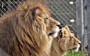 Картинка лев, пара, львица