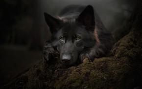 Картинка взгляд, морда, мох, портрет, собака, Немецкая овчарка
