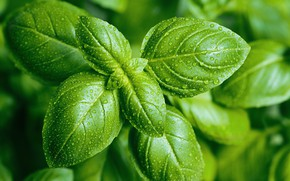 Картинка green, plant, pesto