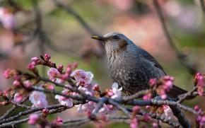 Картинка цветы, ветки, птица, весна, сакура, розовые, цветение, скворец