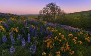 Картинка пейзаж, цветы, природа, дерево, холмы, утро, склон, Вашингтон, США, травы, луга, люпины, Washington State, бальзамориза, …