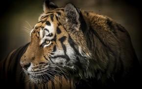 Картинка тигр, мокрый, хищник, профиль