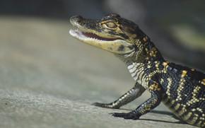 Картинка взгляд, поза, фон, крокодил, пасть, детеныш, рептилия, крокодильчик
