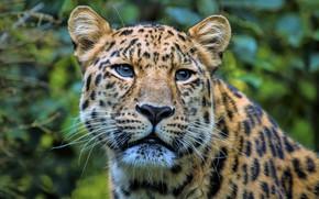Картинка взгляд, морда, портрет, леопард