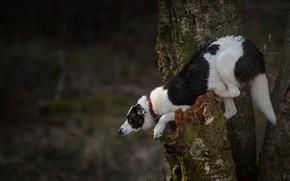 Картинка поза, дерево, собака, на дереве, бордер-колли