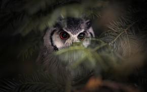 Картинка лес, глаза, взгляд, ветки, природа, темный фон, серый, фон, сова, птица, портрет, мордашка, хвоя, хвойные, …