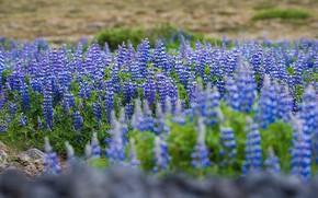 Картинка солнце, пейзаж, цветы, зеленый, цвет, природы, исландия
