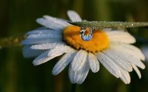 Картинка лето, роса, ромашка