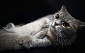 Картинка котенок, новорожденный, серая кошка