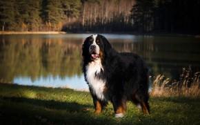 Картинка взгляд, морда, свет, природа, поза, озеро, отражение, берег, собака, водоем, бернский зенненхунд