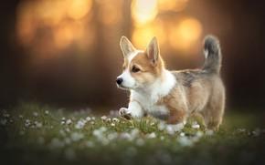 Картинка друг, собака, корги