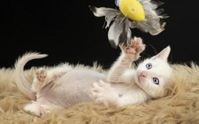 Картинка кошка, белый, темный фон, котенок, игрушка, игра, перья, лежит, мех, голубые глаза, мордашка