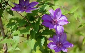 Картинка зелень, лето, листья, свет, цветы, сиреневые, клематис, клематисы