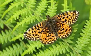 Картинка зелень, макро, фон, узор, бабочка, растение, оранжевая, насекомое, крылышки, папоротник, пестрая