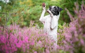 Картинка лес, цветы, поза, заросли, собака, лапы, стойка, вереск